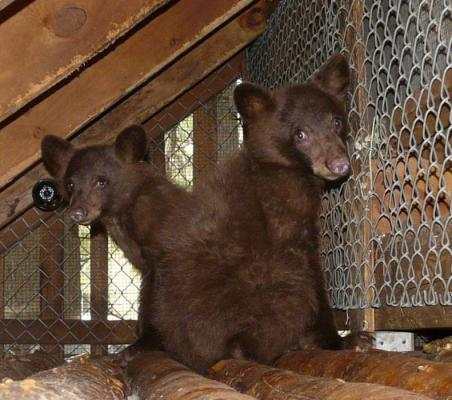 677645-677189-south-tahoe-now-bear-cubs.jpg