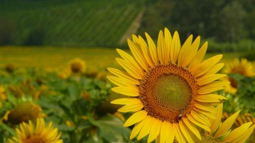 denises_sunflower_umbria_medium.jpg